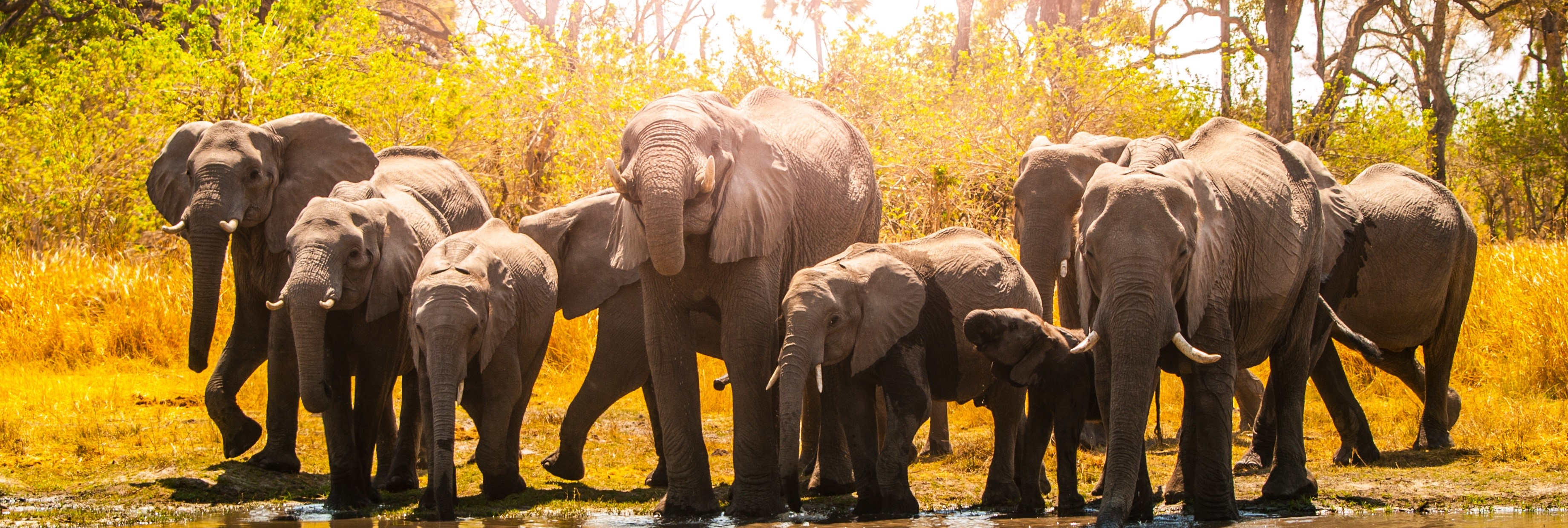 Herd of african elephants at waterhole. Chobe National Park, Okavango Region, Botswana, Africa.